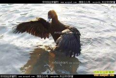 [致富经]江苏盐城陈立存养殖黑羽番鸭年销五百万元