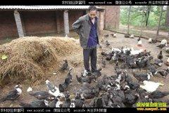 河南新安李黑跃养殖非洲雁脱贫致富