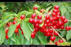 樱桃大量上市价格跌五成 预计六月底反弹