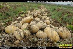 安徽怀远龙窝村20万土豆滞销