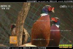 [农广天地]安徽岳西县女博士余纯生态养野鸡发蛋财