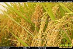 最低收购价和收购量双降 小麦、早籼稻走势偏弱
