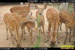 哪些品种的鹿可以人工养殖?
