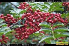 河南渑池县史成芳花椒树种植致富经