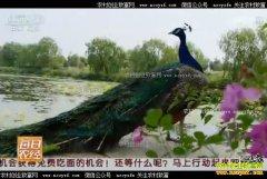 [每日农经]山东安丘:养殖孔雀带来炫美财富
