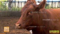 [每日农经]宁夏贺兰县无角的秦川红牛更畅销