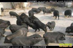 四川理塘县付寿为卓亚村找到藏香猪养殖致富路