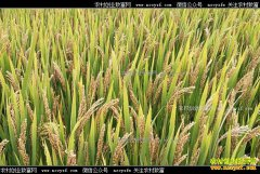 新季早籼稻上市期临近 早籼稻开秤价格或同比下滑