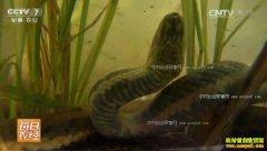 [每日农经]广东龙川:水中养蛇也赚钱