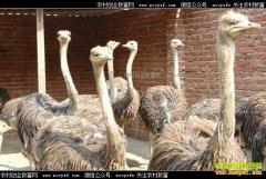 四川江油任雯雯返乡创业养鸵鸟带领村民致富