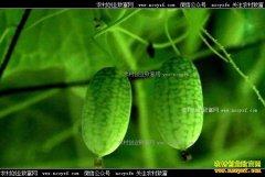 江苏如皋大学生村官沈亚阳种植拇指西瓜亩产值超10万元