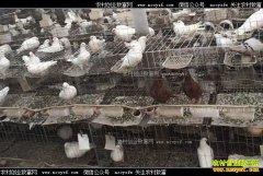 鸽子虽小效益好 新疆兵团刘伟养殖肉鸽好赚钱