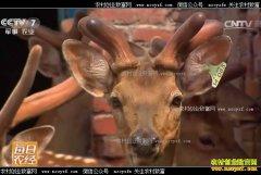 [每日农经]吉林四平:一年只割一次的鹿茸有门道