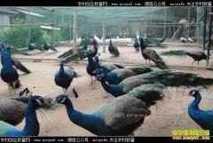 安徽太和县关丽养殖孔雀效益好年销500万元