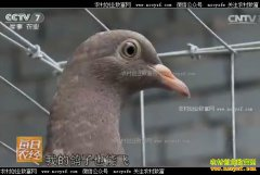 [每日农经]河南濮阳:养殖善飞的肉鸽多卖钱