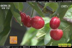[农广天地]北京大兴贾维亮改变传统种樱桃