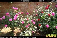 北京通州李青兰庭院种花卉年入万元