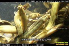 [致富经]云南红河肖燕在哈尼梯田养泥鳅