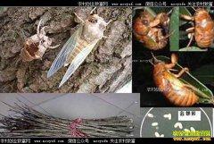 金蝉卵条怎样孵化,人工养金蝉孵化成活率多少?