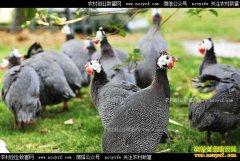 """宁夏西吉县陆刚养殖珍珠鸡""""啄""""开致富门"""