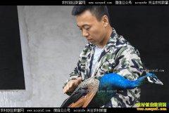 河北武邑80后夫妻武建华、王蕊养孔雀年收入50多万
