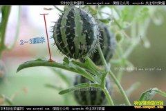 [致富经]北京庞各庄冯乐平种植稀奇西瓜狂卖8000万