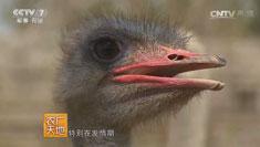 [农广天地]河北石家庄刘福辰养鸵鸟实现财富梦想