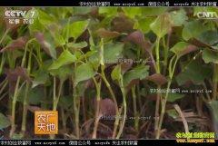 [农广天地]湖北当阳汪云鱼网店销售腥草带来的百万财富
