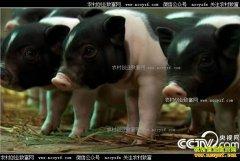 [致富经]浙江开化县独臂大侠苏宏星养殖香猪创造千万财富