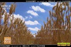 [每日农经]新疆戈壁滩上与众不同的小麦