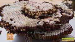 [每日农经]广西阳朔:凶险美味 养马蜂也生财