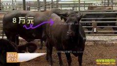 [每日农经]贵州凤冈县:8万元一头的牛不嫌贵