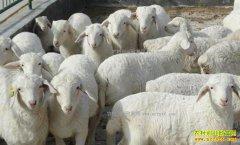 肉羊价格回暖 养羊效益向好
