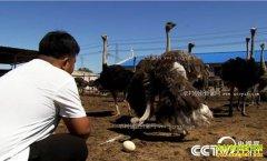 [致富经]内蒙古乌兰浩特90后刘蒙养殖鸵鸟赚钱很疯狂