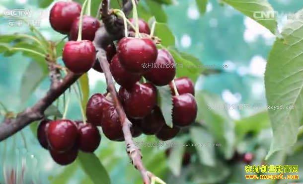 [科技苑]北京通州佟萌种樱桃 满树都是红樱桃