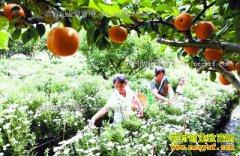 安徽歙县溪源村:梨园套种菊亩产增万元