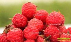 """[致富经]湖北天门黄远超种植加工""""黄金水果""""树莓创业致富"""