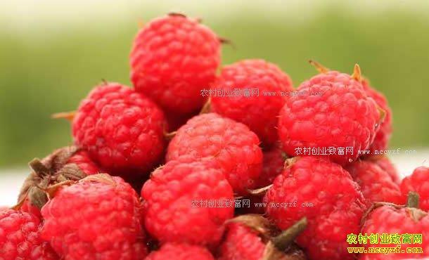 [致富经]湖北天门黄远超种植树莓创业致富视频