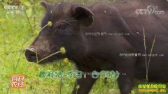 [每日农经]甘肃卓尼:爱吃蕨麻的合作猪效益好