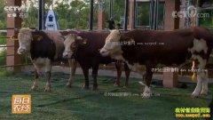 [每日农经]广西上林县会享受的牛卖得牛