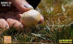 [每日农经]青海祁连县雪域高原上的黄菇财富