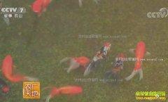 [农广天地]北京通州李守志养殖不值钱的金鱼巧赚钱