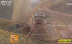 [农广天地]大鳞副泥鳅人工繁殖与养成技术视频