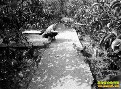 重庆南川方恒平种梨树养土鸡效益高