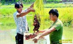 四川大竹县前锋村:稻田养殖小龙虾成农民致富好项目