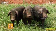 [农广天地]辽宁建昌县私人订制的荷包猪效益好