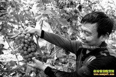 重庆江津张洪举订单种葡萄错季销售效益好