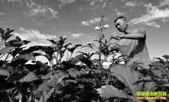 内蒙古巴彦淖尔市特色种植助力精准扶贫