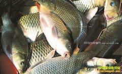 四川仁寿:稻田养鱼投资小、见效快、效益高成致富好项目