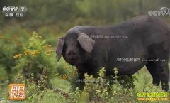 [每日农经]黑龙江漠河:赶进山林的黑猪出了名